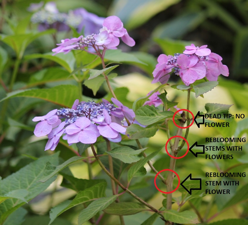 Rebloomer Hydrangea will bloom on both old and new wood - National Garden Bureau
