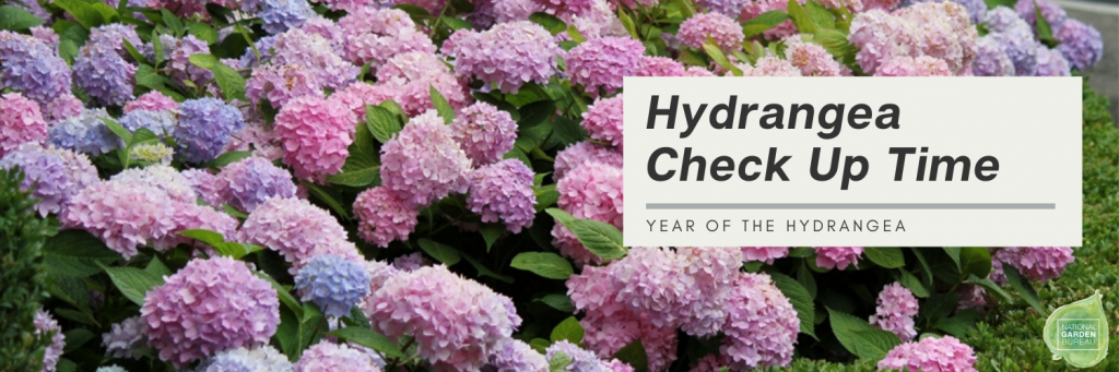 Hydrangea Check Up Time - National Garden Bureau
