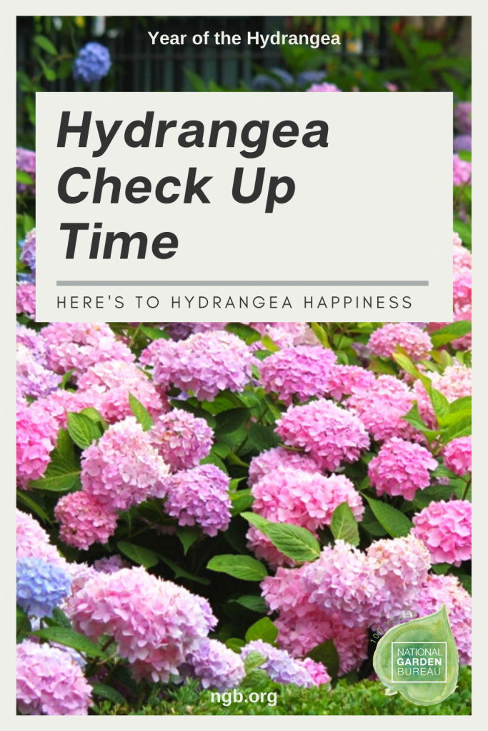Hydrangea Check Up Time to achieve Hydrangea Happiness! - National Garden Bureau
