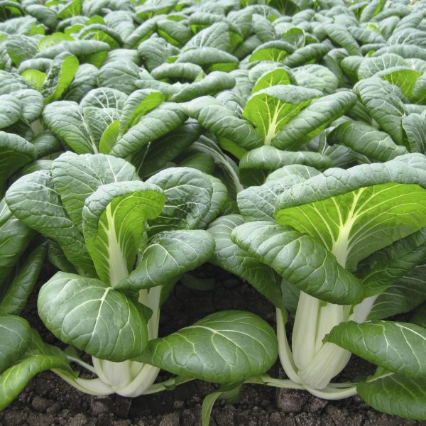 Bok Choi Bopak for your Victory Garden 2.0 Fall Planting