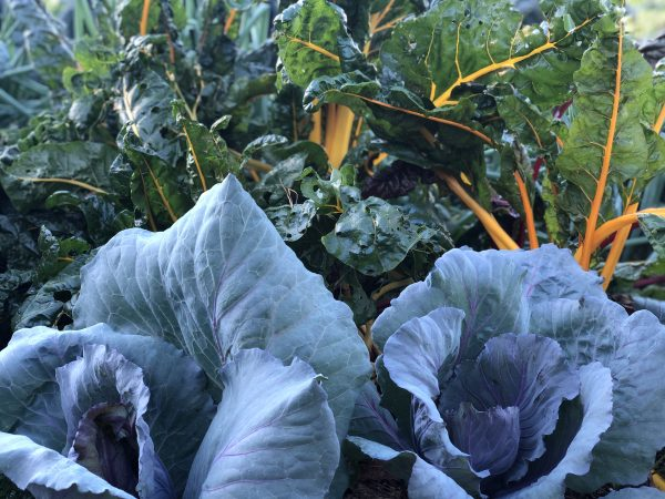 Growing Cabbage and Swiss Chard in your landscape - National Garden Bureau