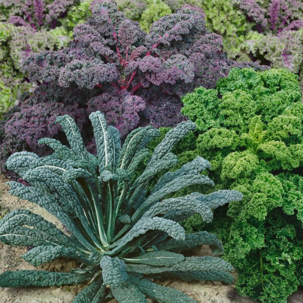 Kale Garden Blend for your Fall Garden