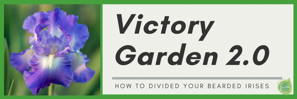 Victory Garden 2.0 Fall Chores : How to divide your bearded irises - Year of the Iris - National Garden Bureau