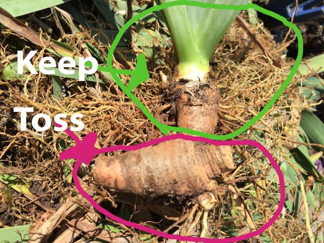 Keeping the healthy rhizomes - Dividing Bearded Irises - Year of the Iris