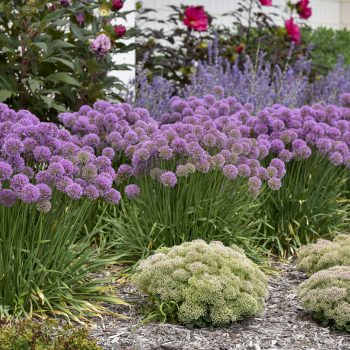 Allium Serendipity - #Fallisforplanting Perennials - National Garden Bureau