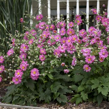 Anemone Fall in Love Sweetly - #Fallisforplanting Perennials - National Garden Bureau