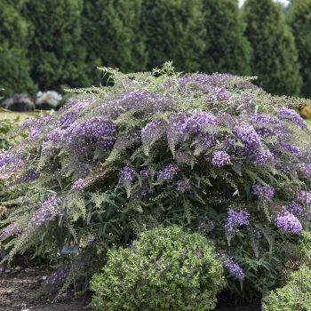 Butterfly Bush Lilac Cascade- #Fallisforplanting Perennials - National Garden Bureau