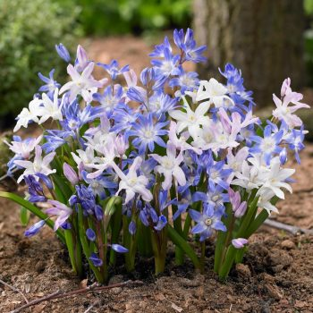 Chionodoxa - Cheery, early spring flowers that bloom in pretty pastel colors of periwinkle blue, pink and white.