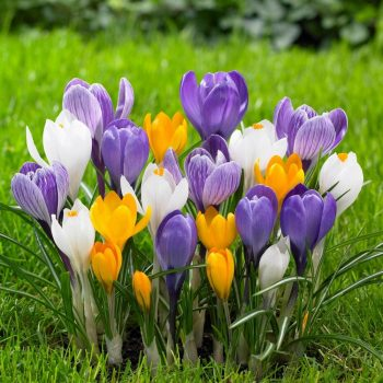 Crocus - these fall bulbs provide a big dose of cheery color on early spring days.
