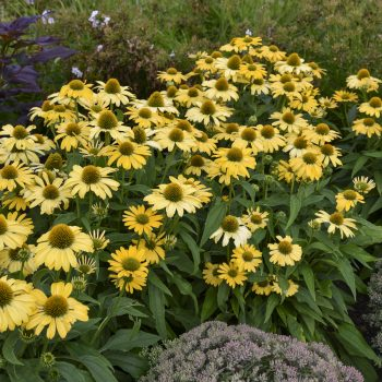 Echinacea Yellow My Darling - #Fallisforplanting Perennials - National Garden Bureau