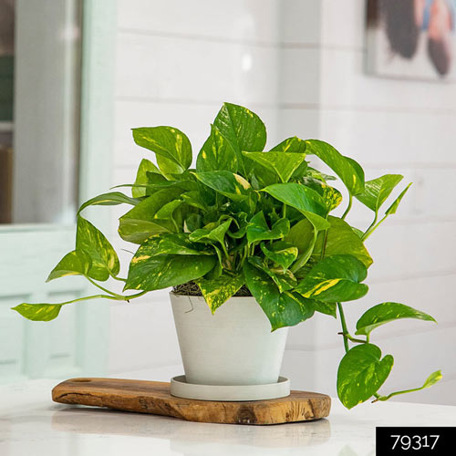 Golden Pothos is a great addition to any household - 6 easy-to-grow houseplants - National Garden Bureau
