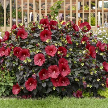 Hibiscus Holy Grail - #Fallisforplanting Perennials - National Garden Bureau