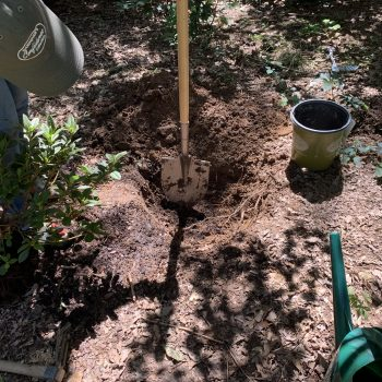 It's important when digging the hole that your new plant should be planted at the same level or even slightly higher than the surrounding soil. - #FallisforPlanting Shrubs