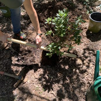 Compare the height of the rootball to your shovel blade to know how deep to dig. Use the handle to get an estimate of how wide to dig – the hole should be twice as wide as the container. - #FallisforPlanting Shrubs