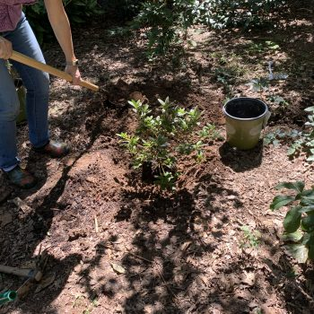 Add the soil back into the hole, making sure there aren't large air pockets. #FallisforPlanting Shrubs