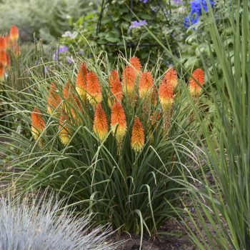 Kniphofia Backdraft - #Fallisforplanting Perennials - National Garden Bureau
