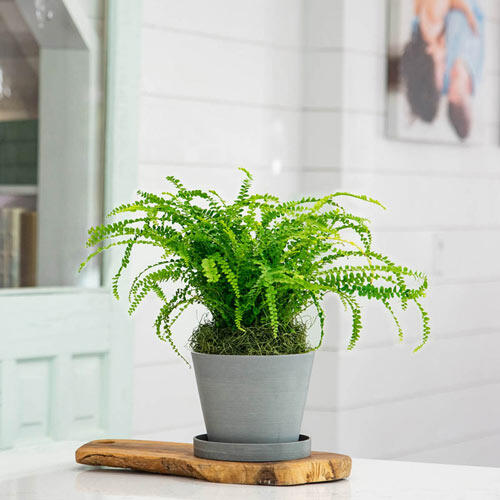 Lemon Button Fern is an easy-to-grow houseplant with a lemony scent - 6 Houseplants to Grow - National Garden Bureau