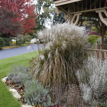 Miscanthus Oktoberfest - #Fallisforplanting Perennials - National Garden Bureau