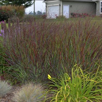 Panicum Cheyenne Sky - - #Fallisforplanting Perennials - National Garden Bureau