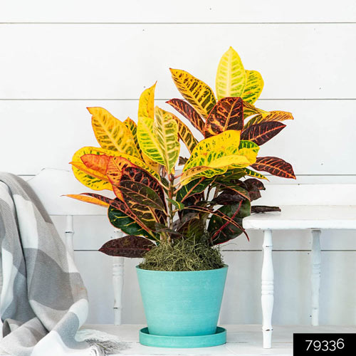 Petra Croton has beautiful variegated leaves - 6 easy to grow houseplants - National Garden Bureau