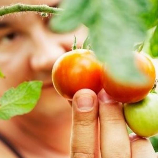 Picking Tomatoes - Therapeutic Gardens - National Garden Bureau