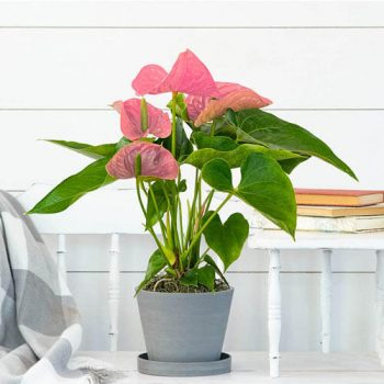Anthurium plants will bloom all year long - 6 easy to grow houseplants - National Garden Bureau