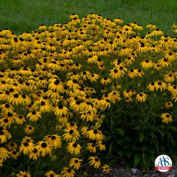 Rudbeckia American Gold Rush- #Fallisforplanting Perennials - National Garden Bureau