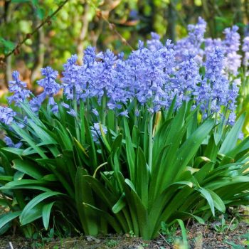 Scilla - These fall bulbs spring flowers are commonly called Spanish bluebells or wood hyacinths.