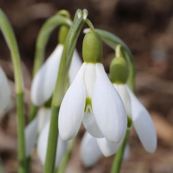 Snowdrops - the first flowering fall bulbs of spring are good naturalizers for wooded areas, rock gardens and informal landscapes.