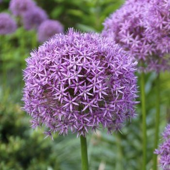 Allium - Big blooms are tall stems that bridge the gap between late spring bulbs and early summer perennials.