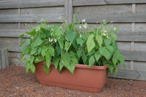 Mascotte from All America Selections - Year of the Garden Bean - National Garden Bureau