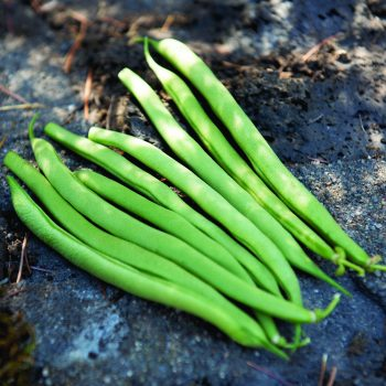 Oregon from Territorial Seed Company - Year of the Garden Bean - National Garden Bureau