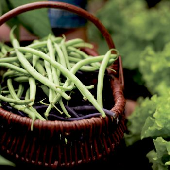 Pismo from Syngenta - Year of the Garden Bean - National Garden Bureau