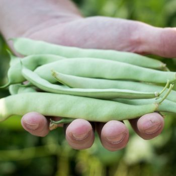 Romall from Pure Line - Year of the Garden Bean - National Garden Bureau