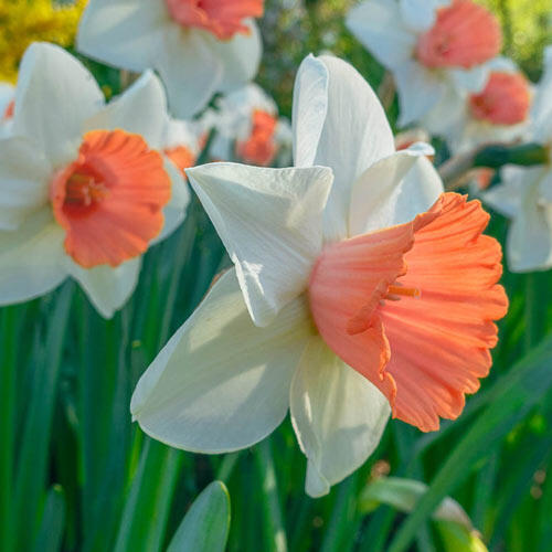 Chromacolor Daffodil with a coral cup surrounded by white petals - National Garden Bureau