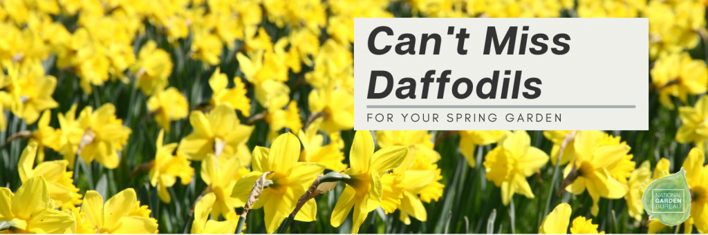 Can't Miss Daffodils for Your Spring Garden - National Garden Bureau