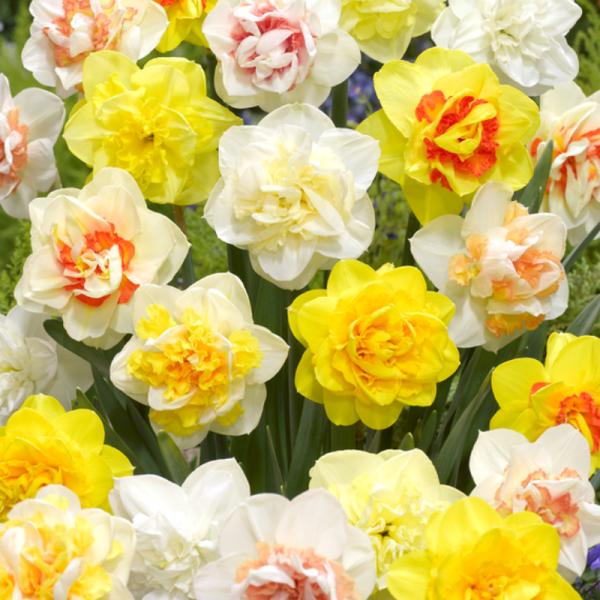 Double Daffodil Mixed - National Garden Bureau