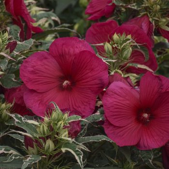 Summer Carnival from Walters Garden - Year of the Hardy Hibiscus - National Garden Bureau