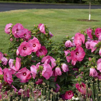 Airbrush Effect from Walters Garden - Year of the Hardy Hibiscus - National Garden Bureau