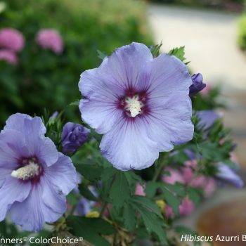 Azurri Blue Satin Color Choice from Spring Meadow - Year of the Hardy Hibiscus - National Garden Bureau