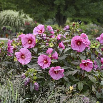 Berry Awesome from Walters Garden - Year of the Hardy Hibiscus - National Garden Bureau