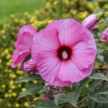 Candy Crush from Walters Garden - Year of the Hardy Hibiscus - National Garden Bureau