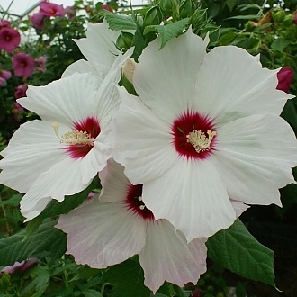 Creme de La Creme from JBerry - Year of the Hardy Hibiscus - National Garden Bureau