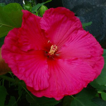 Crepe Suzette Summer Spice from JBerry - Year of the Hardy Hibiscus - National Garden Bureau