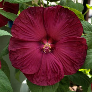 Disco Belle Rosy Red from Sakata - Year of the Hardy Hibiscus - National Garden Bureau