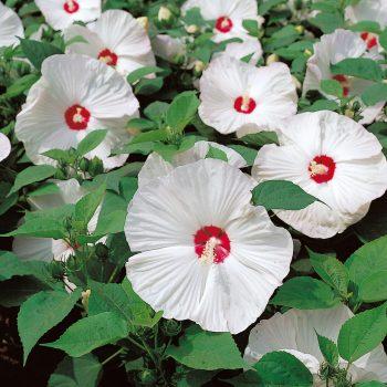 Disco Belle White from Sakata - Year of the Hardy Hibiscus - National Garden Bureau