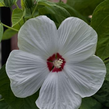 Disco Belle White from Sakata - Year of the Hardy Hibiscus - National Garden Bureau