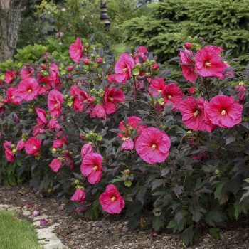 Evening Rose from Walters Gardens - Year of the Hardy Hibiscus - National Garden Bureau