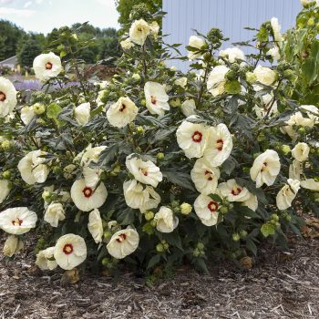 French Vanilla by Walters Gardens - Year of the Hardy Hibiscus - National Garden Bureau