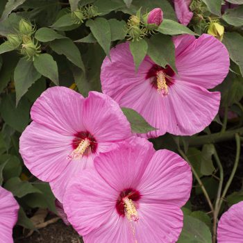 Head Over Heels Adore from Star Roses and Plants - Year of the Hardy Hibiscus - National Garden Bureau
